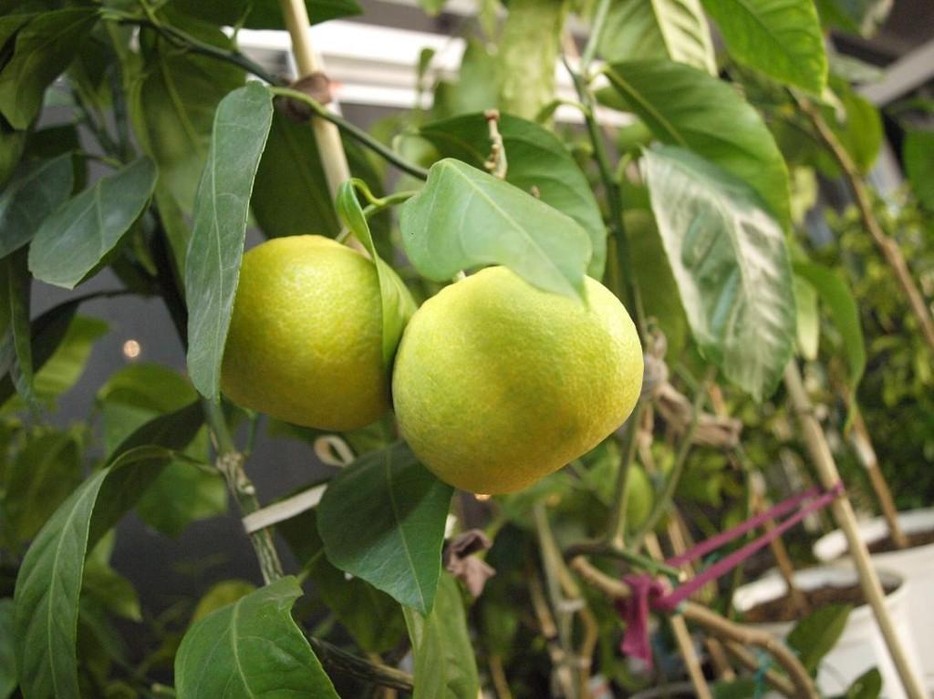 Плоды мандарина. Август 2013 г.