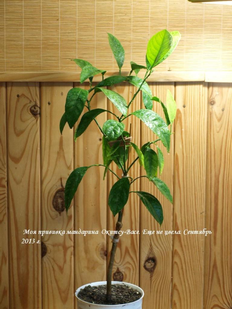 Прививка мандарина Окицу-Васе в сентябре 2013 г.