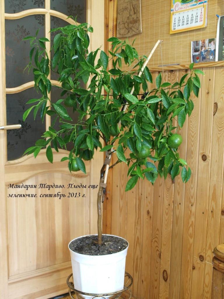 Мандарин уже согнул свои тонкие ветки под тяжестью плодов, но плоды еще совсем зеленые. Сентябрь 2013 г.