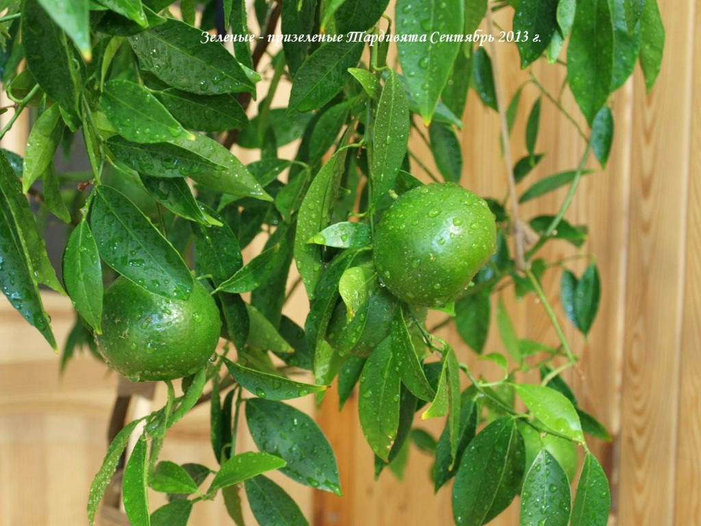 Вот такие зеленые плоды у этого мандарина в сентябре