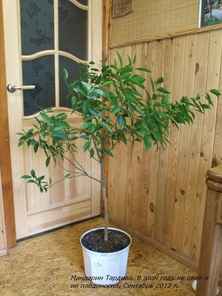 В этом году мандарин отдыхал, не цвел и не плодоносил.