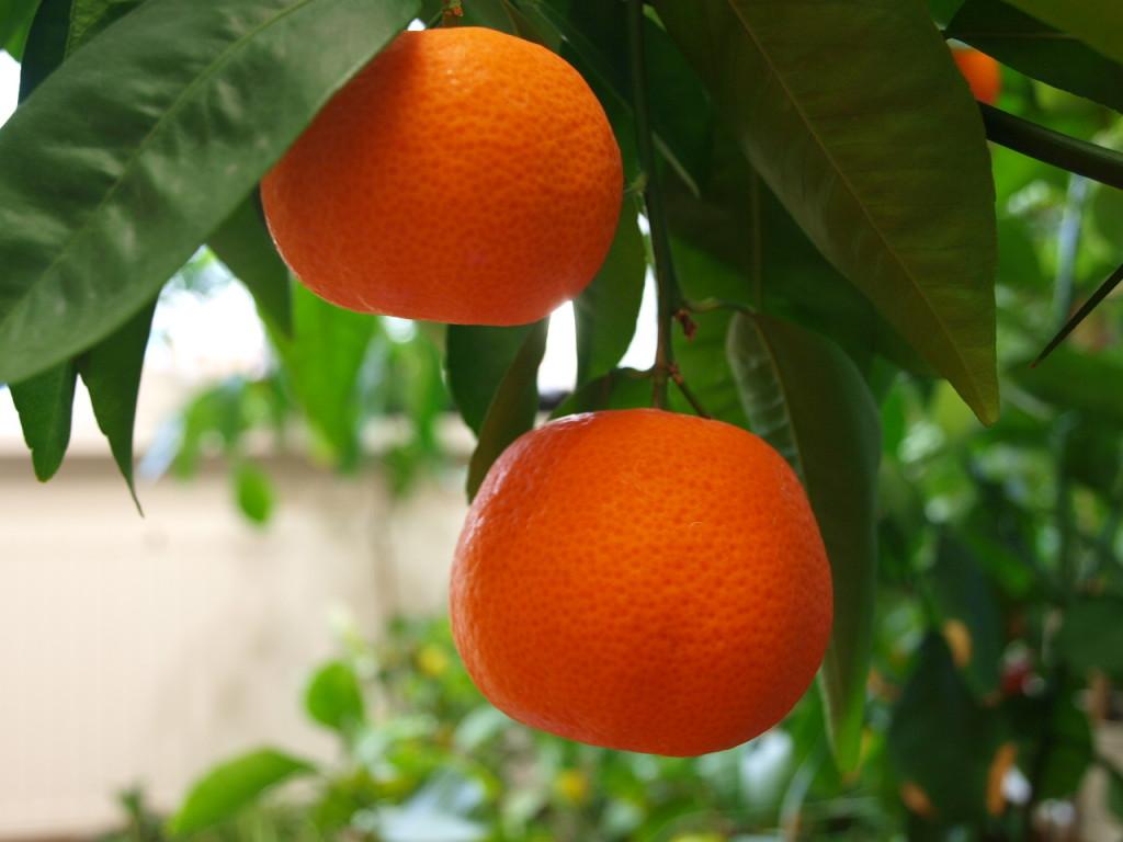 На этом фото цвет плодов ближе всего к реальному. Октябрь 2013 г.