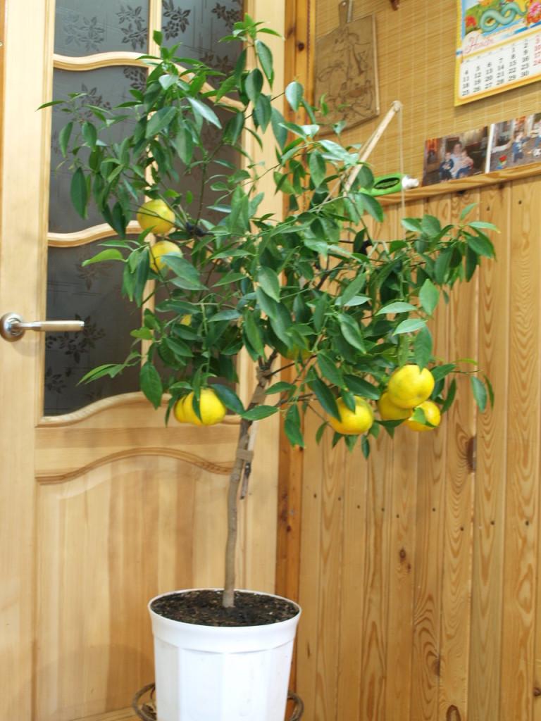 Прошло почти 2 месяца и вместо зеленых мы видим желтые, яркие плоды.