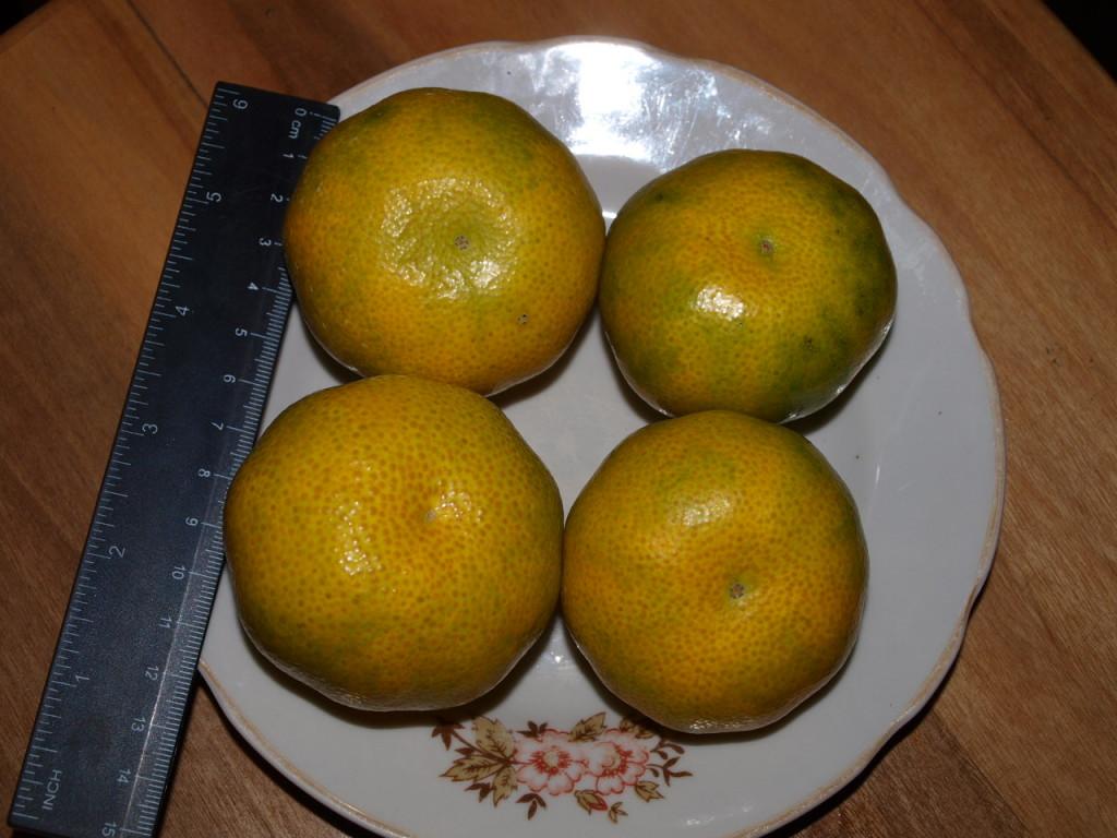 А вот и спелые мандаринки Декабрь 2011 г.