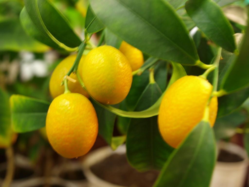 Немного плодов этого кинкана
