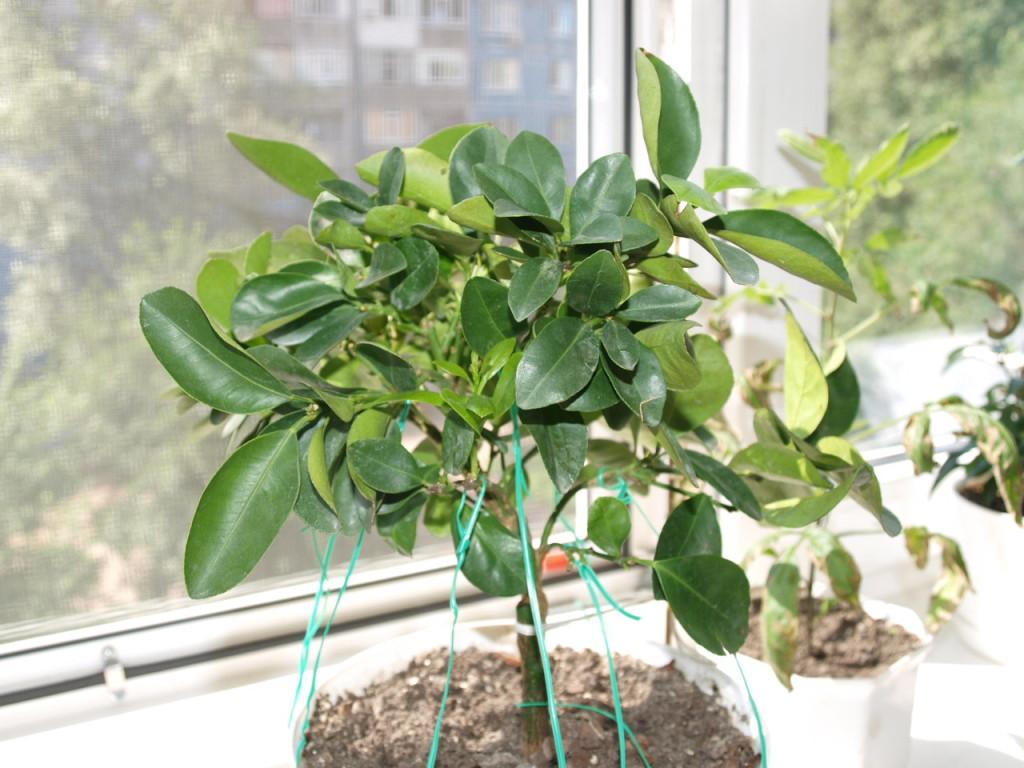 Первое фото растения. Крона сильно загущена, пытаюсь немного растянуть ветки. Июнь 2010 г.