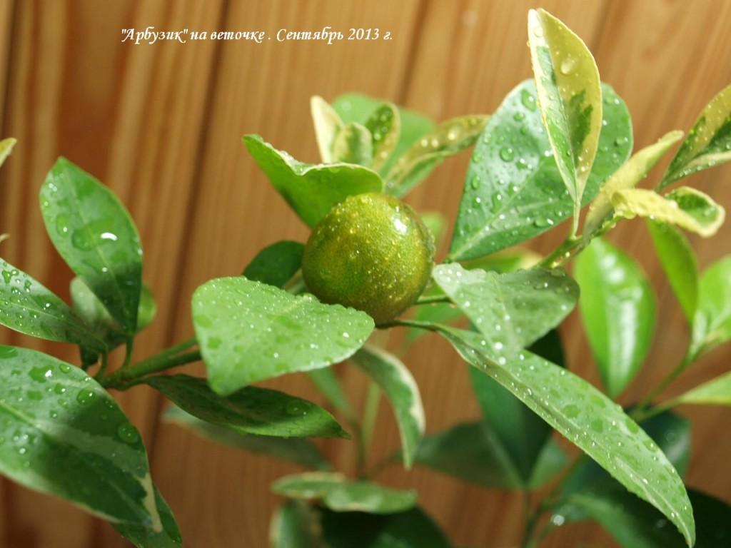 Плод пестролистного каламондина. Сняла недозрелым, чтоб не ослаблять растение в зиму.