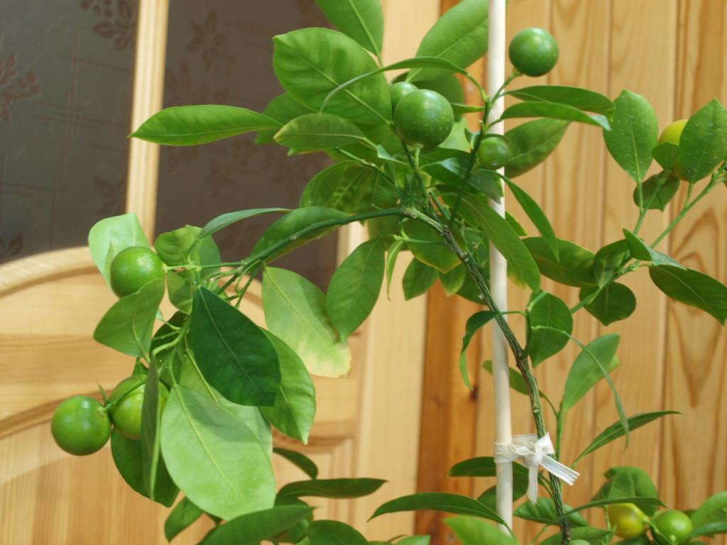 И плоды-то маленькие, а ветка согнулась под их тяжестью. Ноябрь 2013 г.