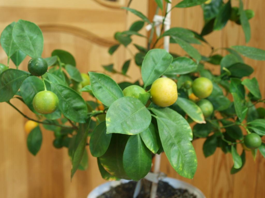 Самый большой плод уже почти поспел. Ноябрь 2013 г.
